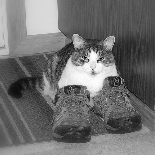 Cat with very serious expression lays with front paws in a pair of man's shoes as if she was wearing.